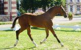 Havrix-du-plant-champion-foal-normandie-2017-Jean-Bougie-Equin-Normand