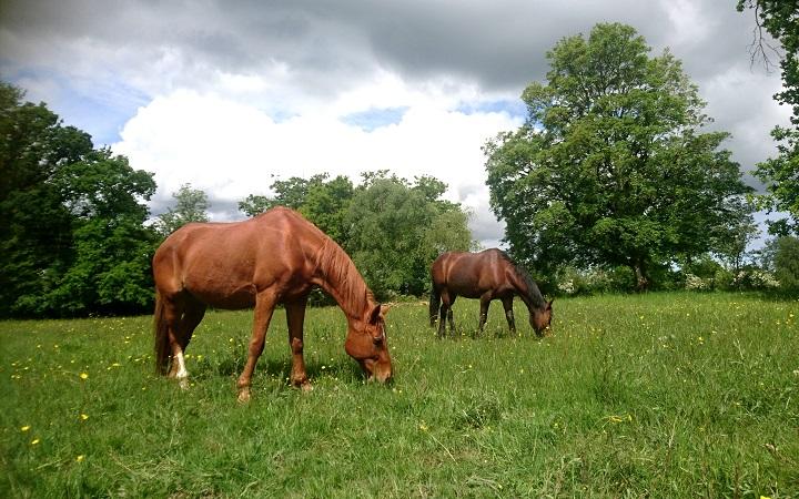 chevaux-prairie